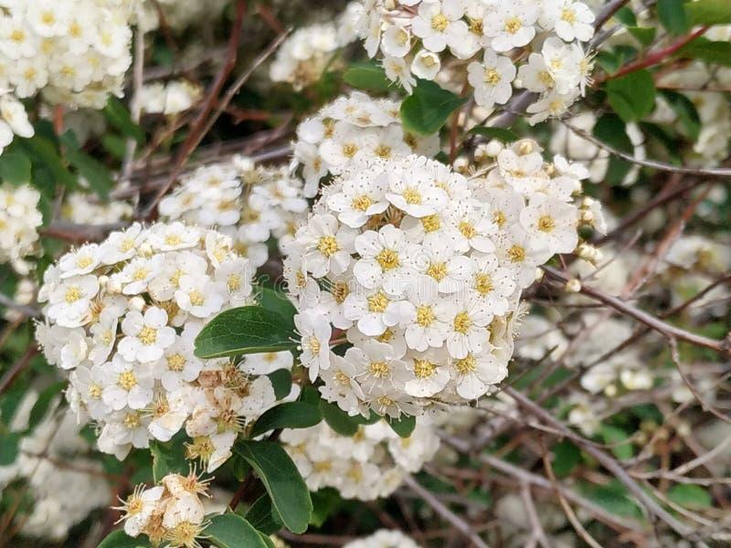 荚莲属的植物tinus,一般叫作durillo 这是伊比利亚半岛的一棵土产植物 地板白色在伊斯拉公园  向量例证