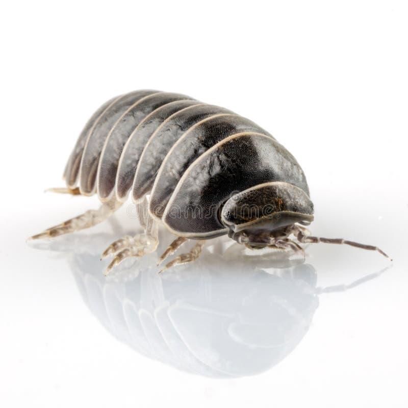 药片臭虫armadillidium vulgare 免版税库存照片