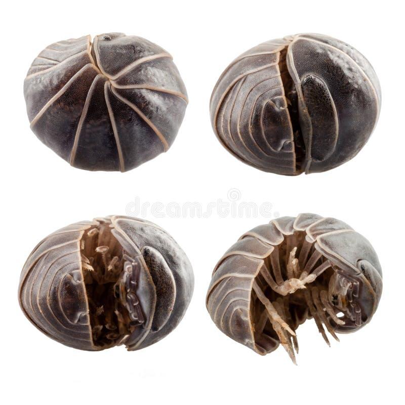 药片臭虫armadillidium vulgare 库存图片