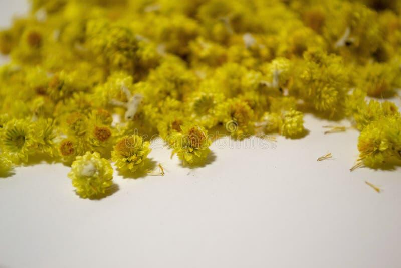 药用植物蜡菊属植物arenarium白色背景 顶视图 黄色干燥花 免版税库存照片
