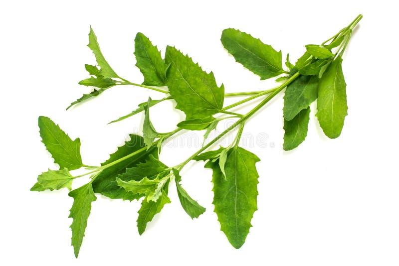 药用植物滨藜属 库存图片