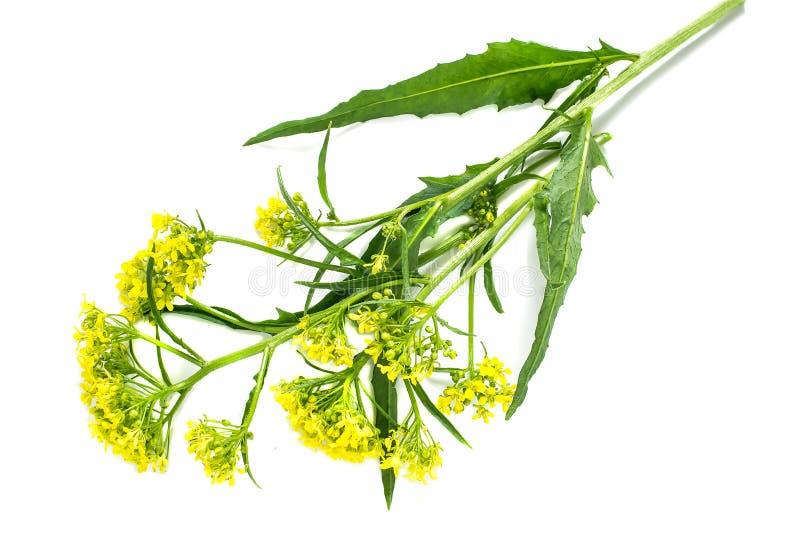 药用植物Bunias orientalis 图库摄影