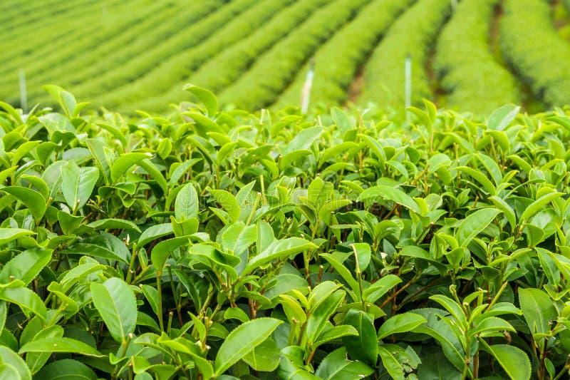 药草浸剂植物或山茶花sinensis领域 免版税库存照片