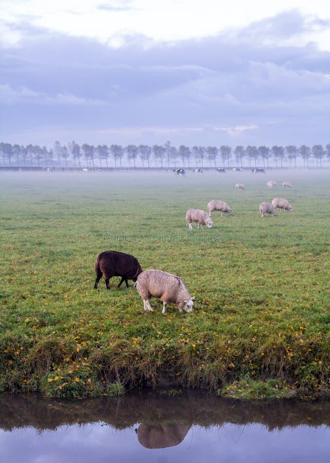 荷兰人在领域的特塞尔绵羊 库存照片