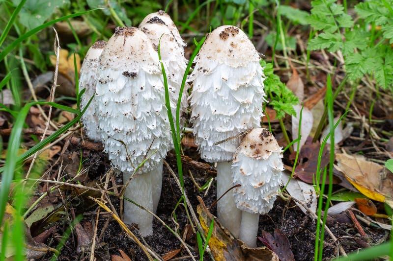 荷兰佐特梅尔一群假发真菌Coprinus comatus 库存图片