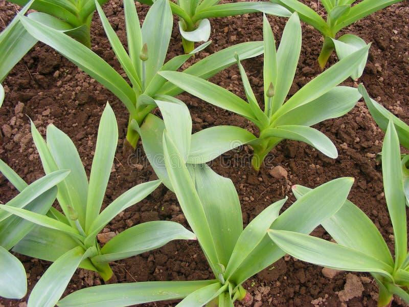 荷兰大蒜厂在庭院,绿色大蒜在春天把生长留在 库存图片