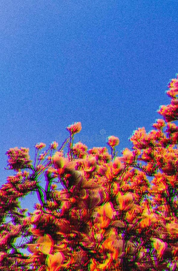 荷兰樱花春季 库存图片