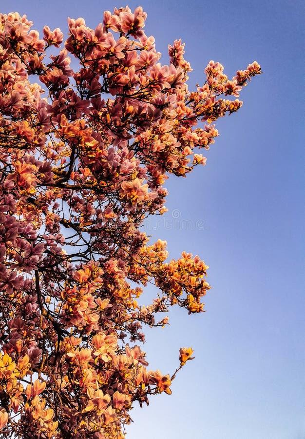 荷兰樱花春季 免版税图库摄影
