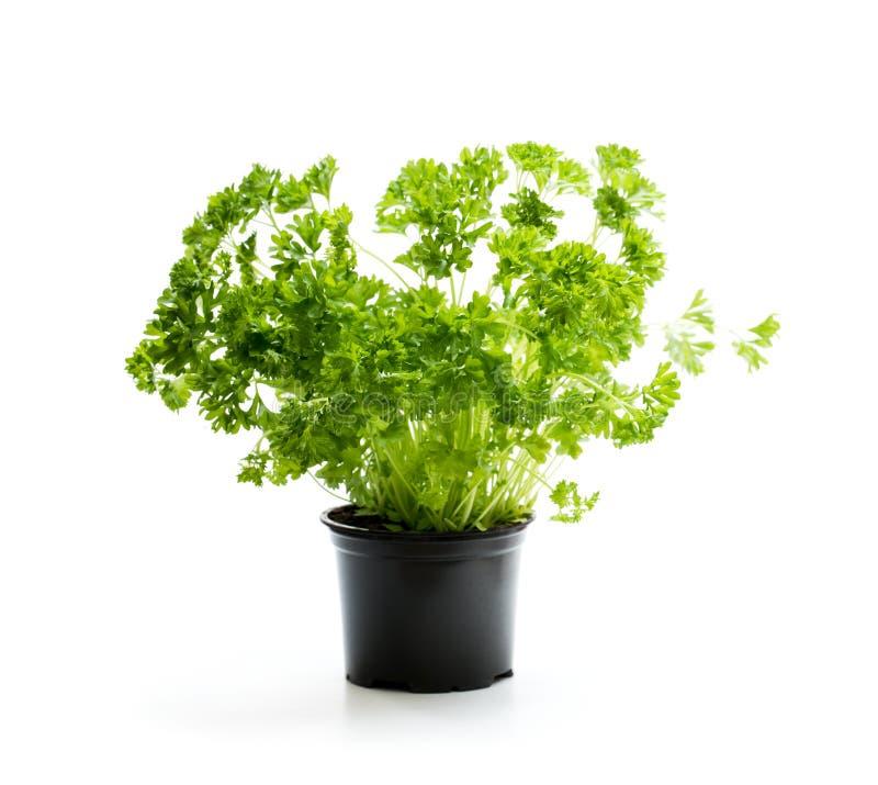 荷兰芹在白色隔绝的罐的草本植物 库存照片