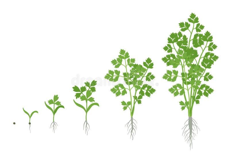 荷兰芹庄稼阶段  增长的庭院荷兰芹植物 收获成长 ??crispum o 库存例证