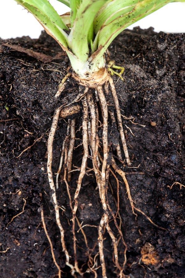 荷兰芹根在土壤下的 免版税库存照片