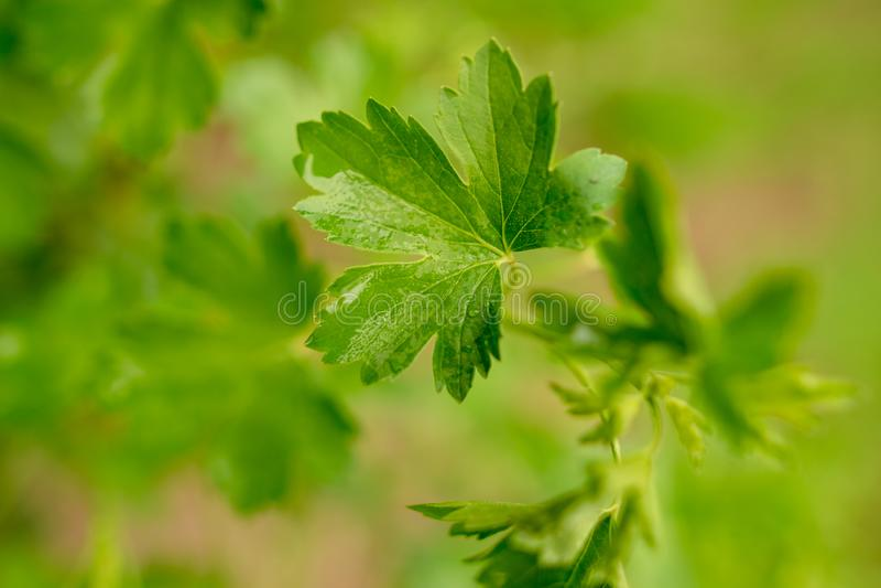 荷兰芹美丽的绿色叶子在自然的 免版税库存图片