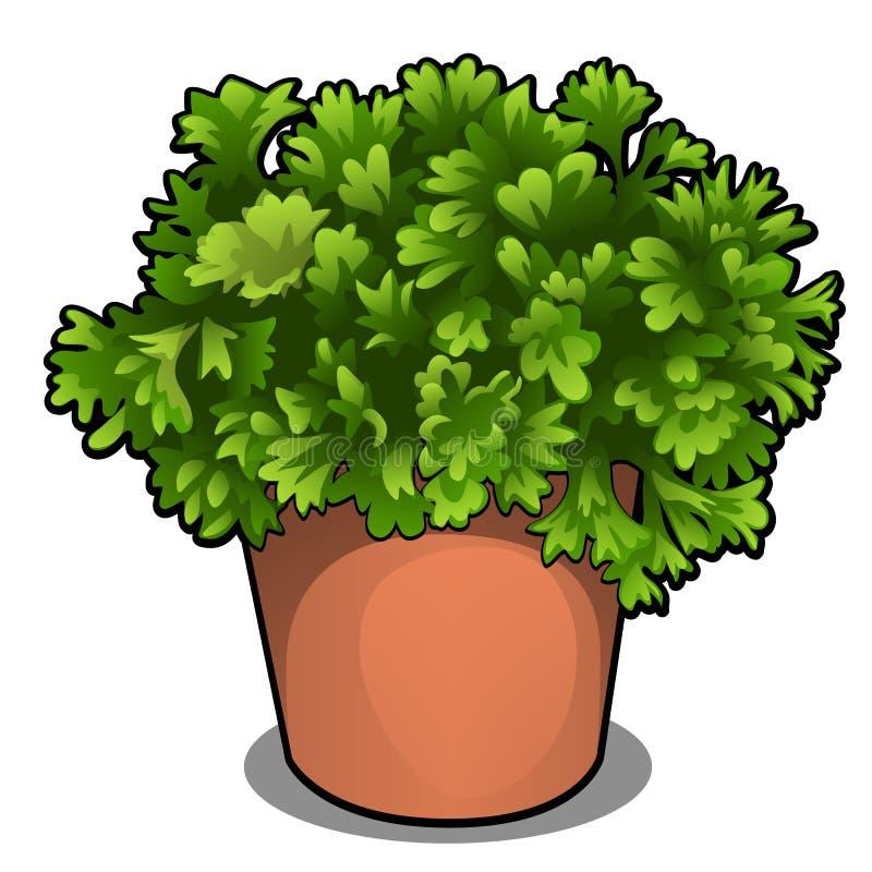 荷兰芹豪华的灌木在罐的 在白色背景隔绝的烹调的草本 传染媒介动画片特写镜头例证 库存例证