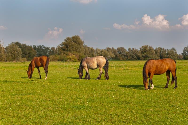 荷兰语吃草的马草甸三 库存照片