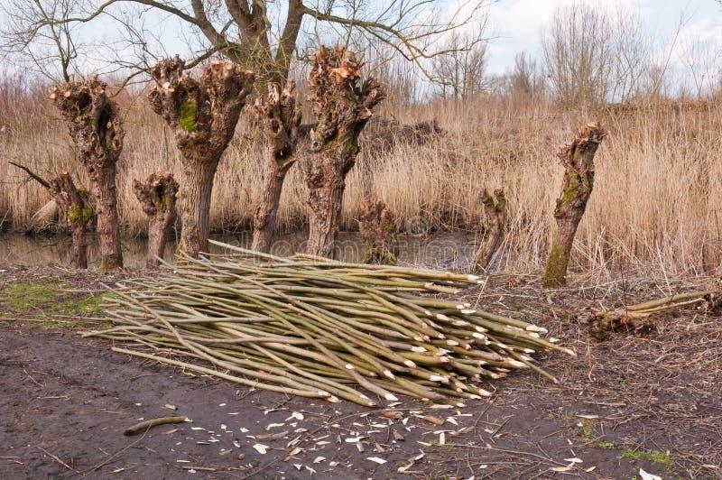 荷兰语本质老被修剪树枝的预留杨柳 库存图片