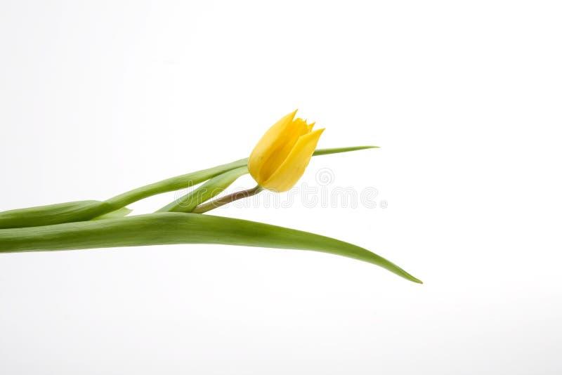荷兰语郁金香黄色 库存照片