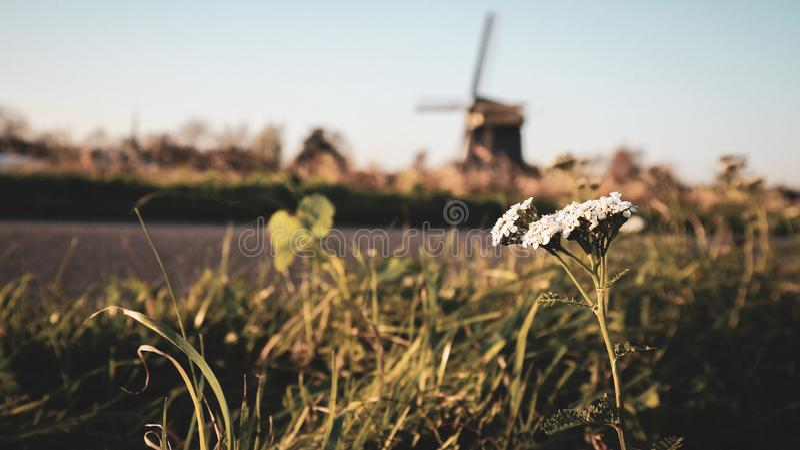 荷兰阿尔克马尔市的美丽白花! 库存图片