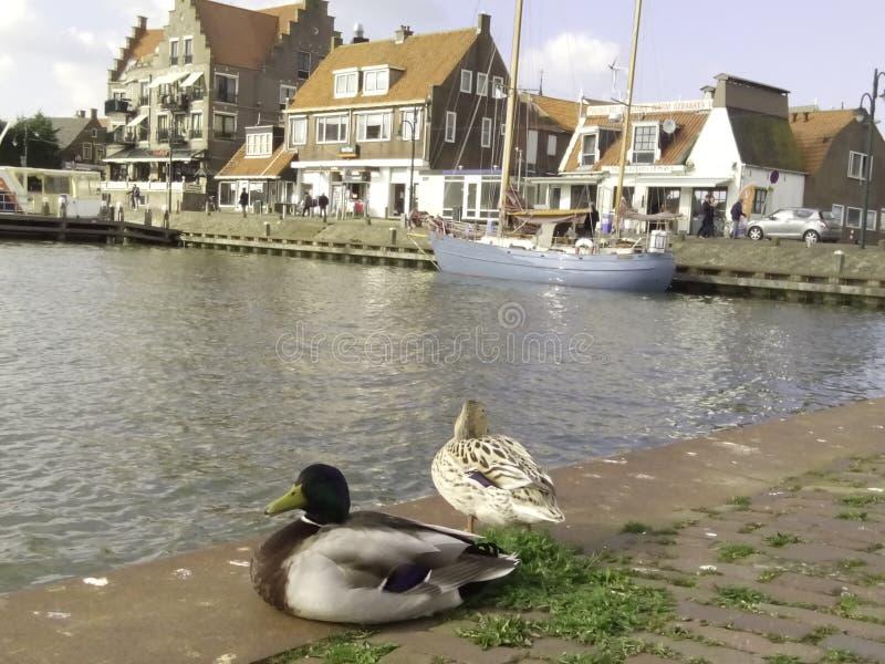 荷兰鸭子 库存图片
