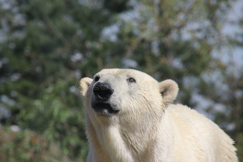 荷兰鹿特丹动物园Blijdorp的北极熊 免版税图库摄影