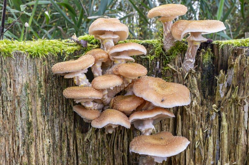 荷兰Zoetermeer死树残上蜜环菌2 图库摄影