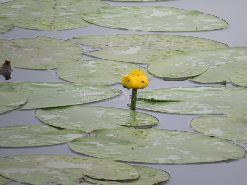 荷花在有大海的池塘开花 免版税库存照片