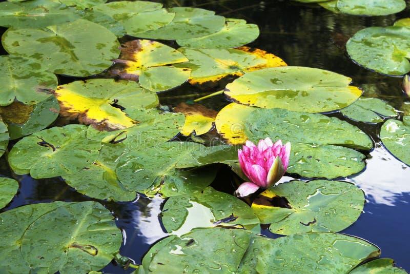 荷花在池塘 免费库存图片