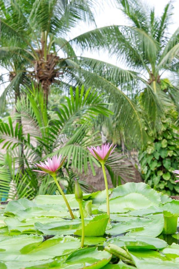 荷花开花棕榈树热带植物 免版税库存图片