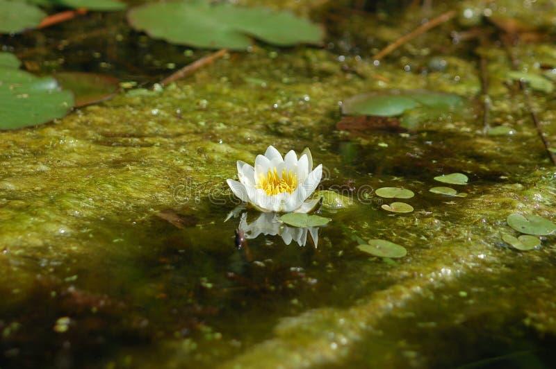 荷花是一个大计划在一个小湖 库存照片