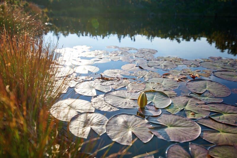 荷花,狂放的自然全景 图库摄影