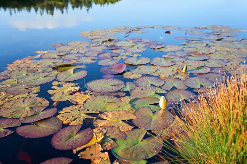 荷花,狂放的自然全景 库存照片