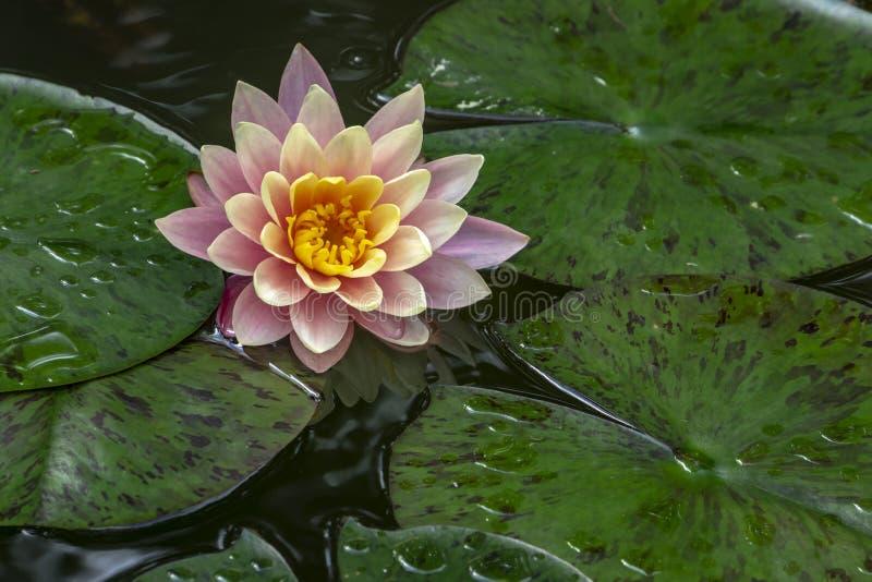 荷花`佩里` s橙色日落`在阳光下 在池塘反映的星莲属 库存图片