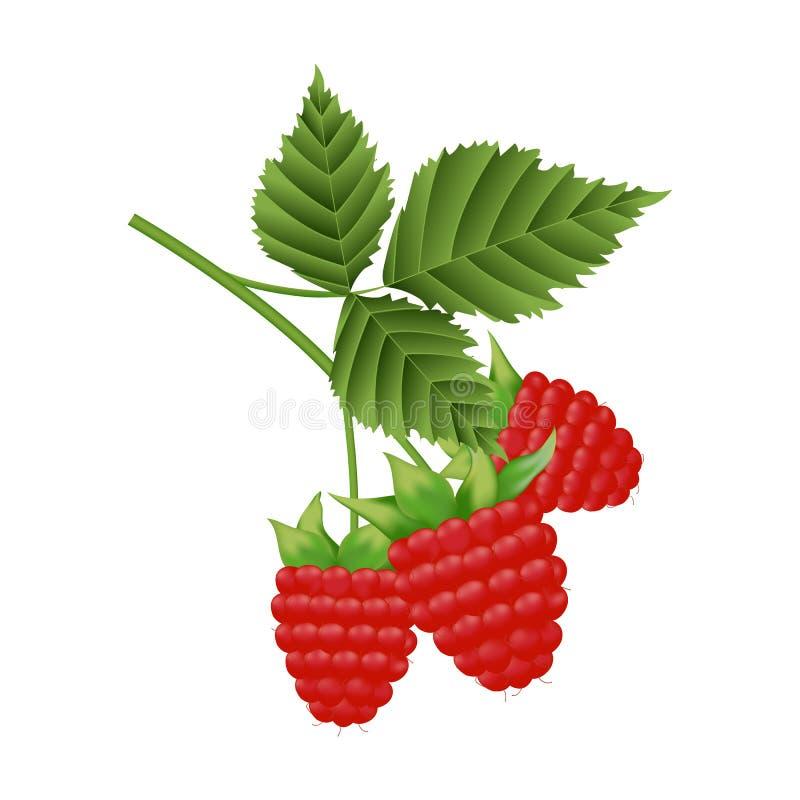 莓分支与叶子的 皇族释放例证