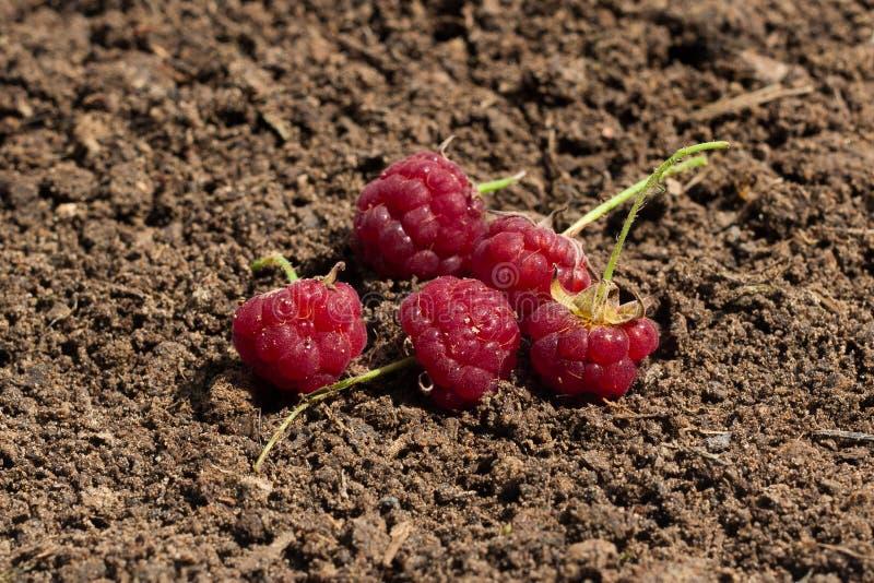 莓在土壤被安置 免版税库存图片