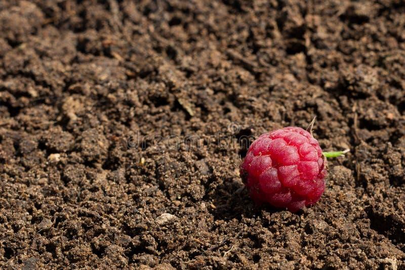 莓在土壤被安置 库存照片