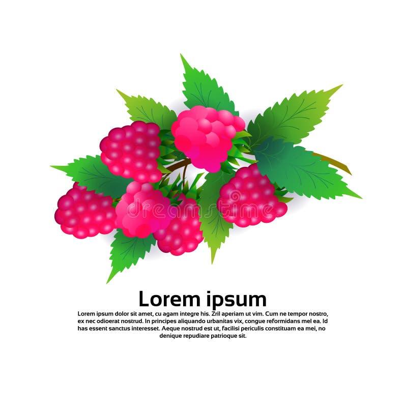 莓在白色背景、健康生活方式或者饮食概念,新鲜水果拷贝空间的商标结果实 向量例证