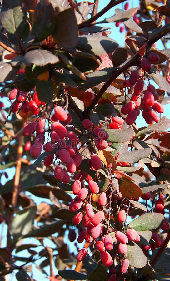 莓果伏牛花特写镜头不是灌木 免版税图库摄影
