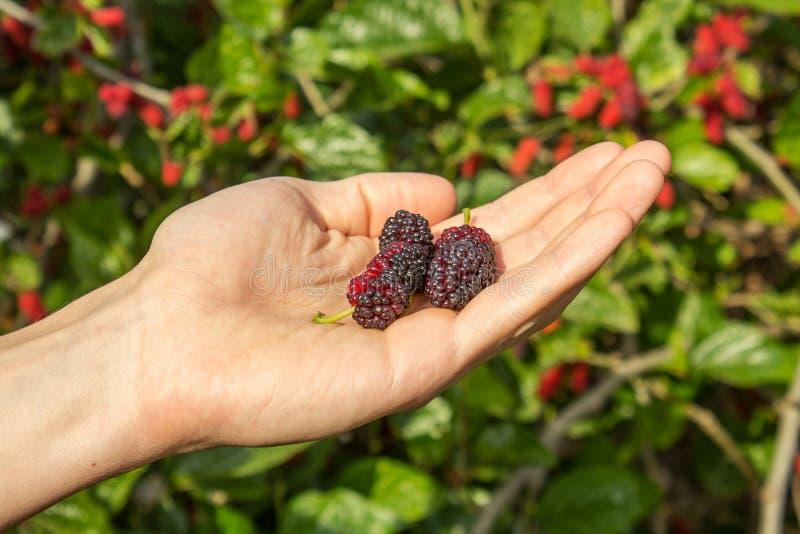 莓果在手边 库存图片