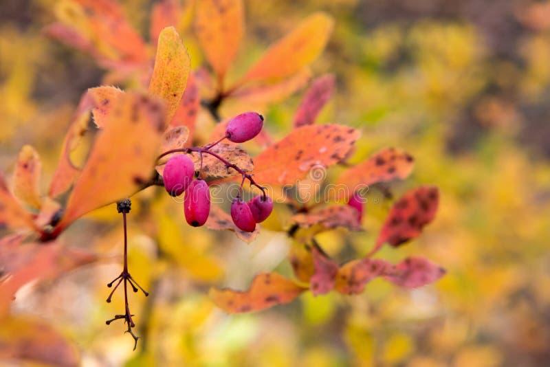 莓果在森林里 免版税库存照片