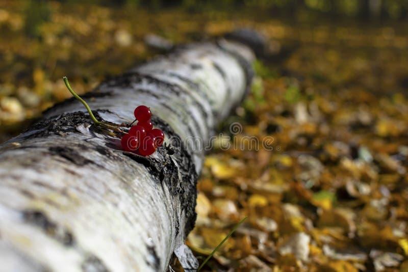 莓果在秋天森林里 免版税图库摄影