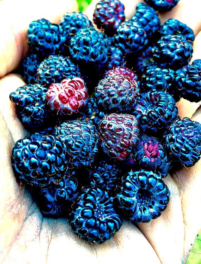 黑莓果季节 免版税图库摄影