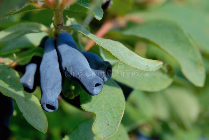 莓果忍冬属植物 图库摄影