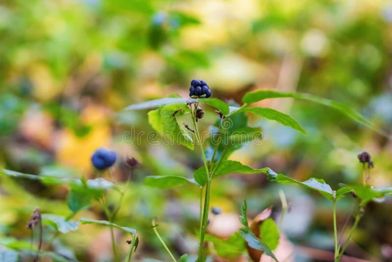 莓果狂放的黑莓 免版税图库摄影
