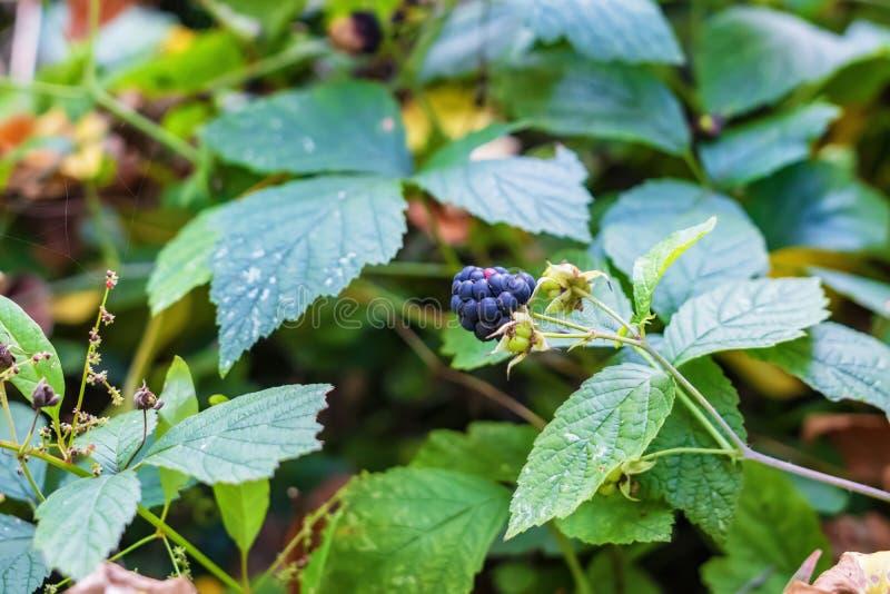 莓果狂放的黑莓 免版税库存图片