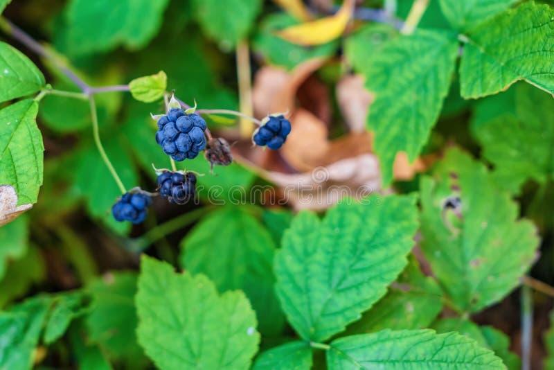 莓果狂放的黑莓 库存照片