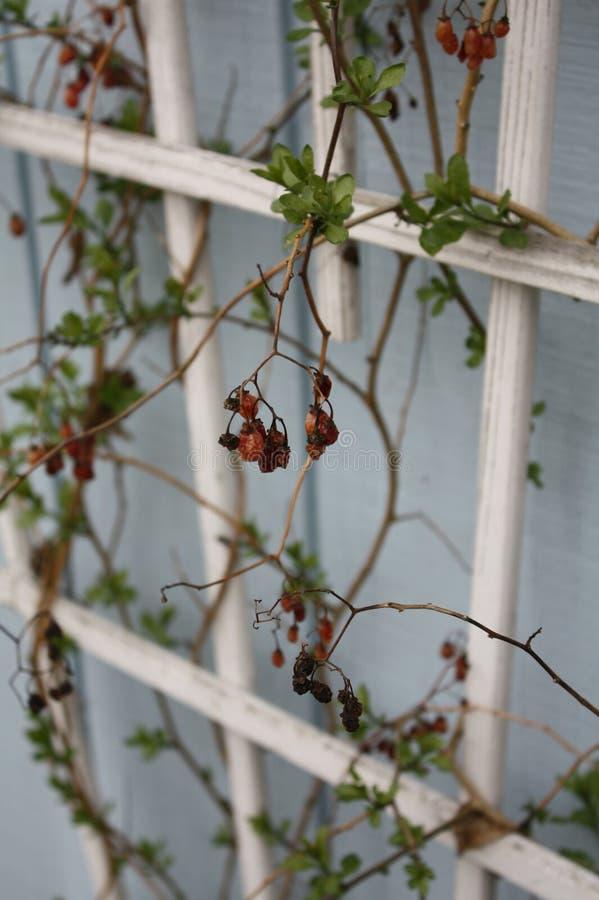 莓果藤 库存照片