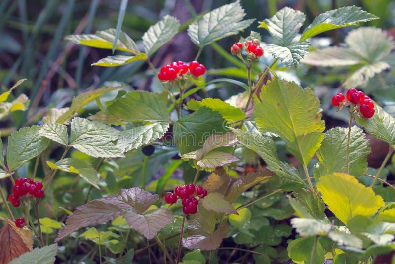 莓果 石荆棘(悬钩子属植物saxatilis) 库存照片