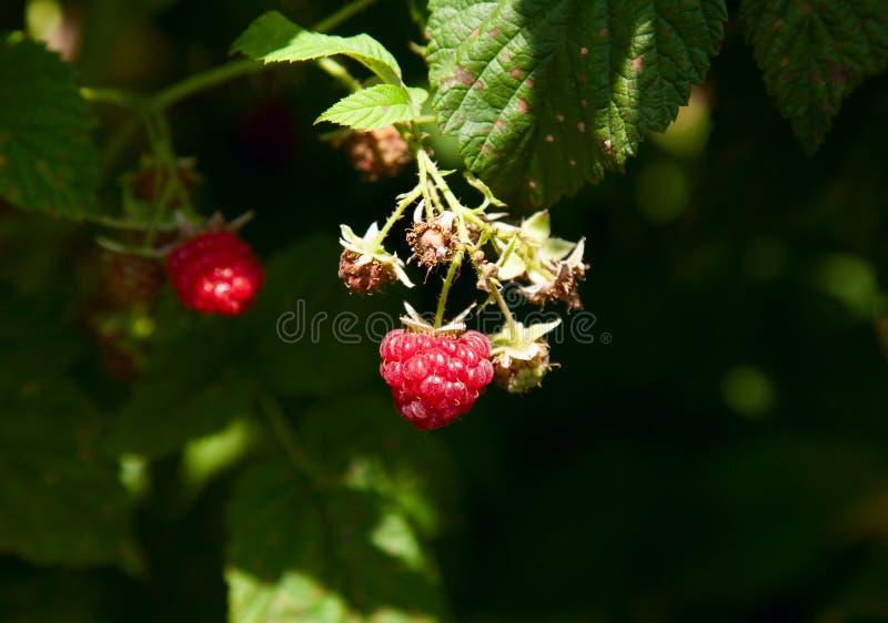 莓红色背景迷离 库存图片