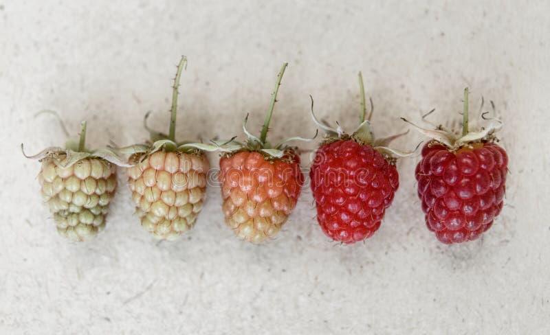 莓背景 另外种类莓的熟 免版税库存照片