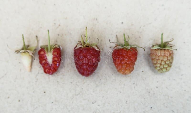 莓背景 另外种类莓的熟 免版税图库摄影