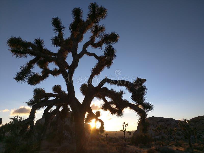 莫哈维沙漠约书亚树 免版税库存图片